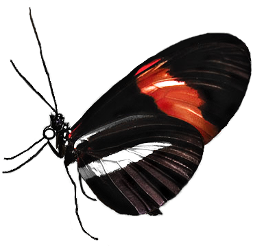 longwing butterfly graphic